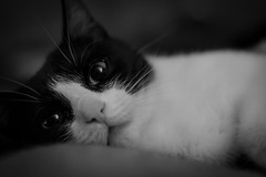 Mietz the cat (michael.taferner) Tags: pet white black animal cat canon relax eos 50mm eyes bokeh smooth livingroom couch chilling ii fixed katze 18 ef focal mietz lenght 600d miauu