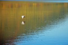 Gabbiano in volo sul lago di Vico (giorgiorodano46) Tags: november autumn italy fall lago mr autunno gabbiani lazio lagodivico uccelliacquatici lagovulcanico monticimini nikonclubit novembre2015 giorgiorodano