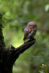 Asian Barred Owlet (Brainstuck) Tags: barred maheshwari glaucidium brainstuck cuculoidesasian owletsattaluttrakhanduttranchalhimalayan foothillschaphianshul