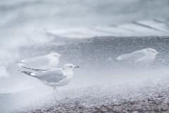 Against the wind (Jyrki Salmi) Tags: sea storm rain nikon wind gulls 300mm nikkor jyrki d600 salmi