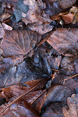 Brown Leaves Texture 2 (gripspix (OFF)) Tags: autumn brown texture leaves herbst braun bltter textur 20151208