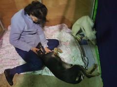 Rosie and Sonia  Rescued from Ansan Dog Farm (Koreandogs) Tags: rescue dogmeat southkorea adoption boshintang  animalcruelty  animalabuse  namikim gaegogi     dogsoju dogelixir       savekoreandogs