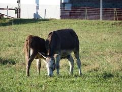 """DSCF8497 Parco Nord - Una fattoria! Allattamento del piccolo Niente """"Brusca e Striglia"""". (Franz Maniago) Tags: tori cavalli toro mucche asinello asini bovini animalidomestici animalidafattoria animalidigrossataglia"""
