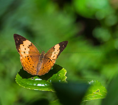 Rustic Butterfly (Said Photography) Tags: park nature forest butterfly wildlife kerala national silentvalley