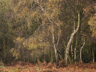 Berkhamsted Common Birch Trees