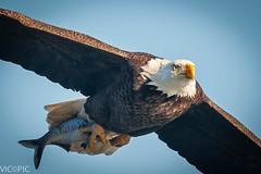 Eagle with fish (Vic Zigmont) Tags: birds wildlife baldeagle eagles eagleinflight birdinflight conowingodam eaglewithfish eaglewithprey