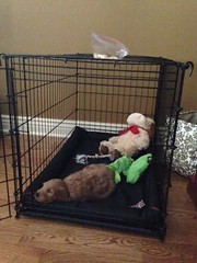 sedona-relaxing-in-her-crate--sedona-is-one-of-molly-mae-and-chewys-girls_12230143513_o