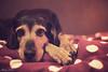 Waiting (lichtspuren) Tags: bracke braque hellenic hound lemmy lemmel jagdhund eyes augen look waiting blackandtan canon fd 50mm f14 ssc bokeh littledoglaughednoiret
