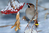 Low Hanging Fruit (kdee64) Tags: bohemianwaxwing bombycillagarrulus mountainashberries december winter snow cold whitehorse yukon northerncanada