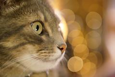 Cat (Yann OG) Tags: cat chat animal bokeh 50mm f18 light lumière noël christmas gold doré couleur color colorful profondeurdechamp depthoffield