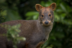 Female Southern Pudú - Pudu puda - Wild in Parque Tantauco, Chiloe Island, Chile (Paul B Jones) Tags: southernpudú pudupuda pudú parquetantauco chiloeisland isladechiloé chile mammal nature deer wild wildlife small tiny cute forest rainforest conservation canoneos1dx ef500mmf4lisiiusm amériquedusud southamerica southamerican südamerika sudamerica chilean chilenos photo photograph image picture trip travel birdschile tour tourism ecotourism tourist birding birdwatching valdiviantemperaterainforest valdivian temperate chili
