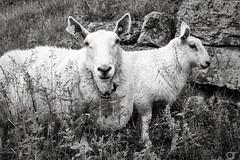 Talk to my Mom... (A.Reef) Tags: sheep lamb shy mom norway monochrome bw