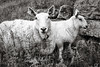 Talk to my Mom... (A.Reef) Tags: sheep lamb shy mom norway monochrome bw