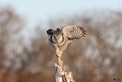 ''Ballerine!''Chouette épervière/Northern hawk owl (pascaleforest) Tags: bokeh passion nikon nature hiver winter snow neige oiseau bird animal wild fauna wildlife canada québec