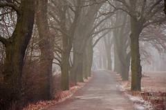 oaks (JoannaRB2009) Tags: oak oaks tree trees nature path road winter autumn fall fog mist foggy misty dolnyśląsk lowersilesia polska poland dolinabaryczy milicz