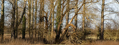 Broken in the storm (Coisroux) Tags: broken branches fallen groundcover texture bark height overgrown forest fields winter sunshine d5500 80mm nikon snapped felled grasses shadows panorama clarity england countryside rural uk majestic uniformity cambridgeshire detail