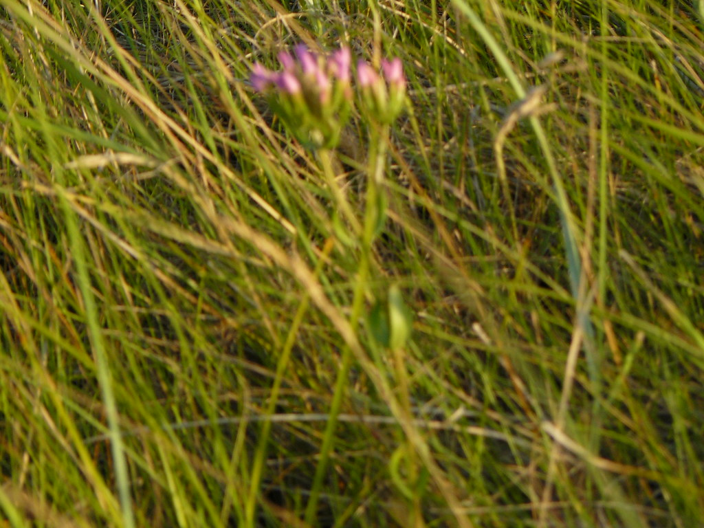Centaurium erythraea- Tausendgüldenkraut2