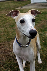 Handsome Face (DiamondBonz) Tags: spanky hound whippet gotcha day handsome dog pet