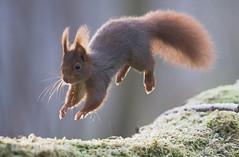 ÉCUREUIL ROUX (kingfisher001) Tags: écureuil eurasie sciuridés duirne arboricole étangdemeudon meudon france îledefrance animal rongeur mammifère omnivore sciurusvulgaris red squirrel redsquirrel