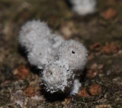 Henningsomyces sp abasidiomycete P1110524 (Steve & Alison1) Tags: henningsomyces phallusonia pubescens white wooly phallus fungus sp abasidiomycete