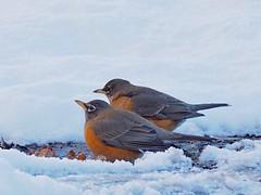 American robins in the snow. (piranhabros) Tags: fat eugeneoregon january winter americanrobin feeding eating street snow robin animal bird