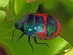 "Jewel-bug Choerocoris paganus (Simon Grove (TMAG)) Tags: ""tmag zoology"" ""tasmanian museum art gallery"" ""december 2016"" insecta taroona tasmania hemiptera scutelleridae choerocoris"