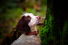 "A Bear in the Woods .... called ""Rupert"" (Missy Jussy) Tags: rupert dog pets puppy springerspaniel spaniel englishspringer woodland wood countryside rochdale lancashire piethorne piethornevalley canon cannon600d canon70200mm trees moss portrait dogportrait dogwalk animal"