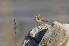 Rock Wren (swmartz) Tags: wren birds outdoors nikon nature nevada december bird newjersey