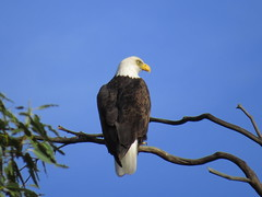 beautiful eagle at lake casitas (2) (gskipperii) Tags: eagle baldeagle male beautiful america merica raptor giant huge nesting lakecasitas ventura southerncalifornia outdoors wildlife animal bird