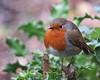 6696 Robin - Erithacus rubecula (Andy - Busyyyyyyyyy) Tags: 20170103 robin robinerithacusrubecula thespinnies traethlafan redbreast rrr bbb