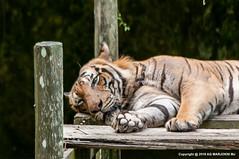 Tiger Rest (Awang Marjokni) Tags: animals zoo lok kawi sabah malaysia rest tiger harimau