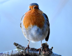 Have you got my best side? (pstone646) Tags: robin bird nature animal wildlife closeup ashford kent fauna twig