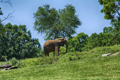 on the hillside (ucumari photography) Tags: ucumariphotography elephant pachyderm animal mammal nc north carolina zoo april 2016 dsc8528 africanelephant loxodontaafricana specanimal