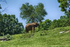 on the hillside (ucumari photography) Tags: ucumariphotography elephant pachyderm animal mammal nc north carolina zoo april 2016 dsc8528 africanelephant loxodontaafricana specanimal