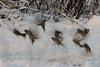 ~~~  ~  ~~  ~~~~ (cнαт-ɴoιr^^) Tags: 20170106imgp2707 fauna vögel birds tanz dancing spatzen sperling sparrows bewegung blurred movement schnee winter snow