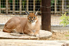 Female Rooikat lying and relaxing (markdescande) Tags: africa safari carnivore rooikat beauty animal head picture wildlife caracal predator reserve wild lynx wallpaper animals game tourism nature cat addo easterncape southafrica zaf