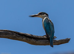 Sacred Kingfisher (Mykel46) Tags: bowhill southaustralia australia au sacred kingfisher birds nature canon 5dmk4 500mmf4 14xtele blue