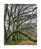 Beech trees, Meldon, Dartmoor, Devon, UK (SimonHMiles) Tags: dartmoor devon beech trees wood tree winter