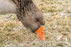 Young Swan Goose