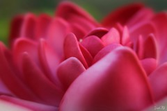 Happy weekend!! (traptiantiwary) Tags: flower flowerphotography redlotus nature canondslr