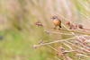 A la vista (sergio estevez) Tags: aves bokeh color desenfoque fauna luz naturaleza posadero pajaros tarabilla tarifa sergioestevez