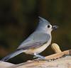 Tufted Titmouse (John Strung) Tags: birds hamilton ontario tuftedtitmouse woodlandcemetery burlington canada ca