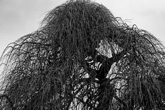 Sophora pleureur (Meculda) Tags: monochrom monochrome noiretblanc blackandwhite arbre contraste nature extérieur ciel couvert