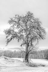Eisblüten im Innviertel (Wolfgang.Grilz) Tags: trees winter wintertrees eisregen eisblumen ice landscape austria innviertel ried taiskirchen