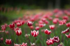 Tulips (Jill-Wang) Tags: tulips noctilux m9 leica bokeh flower