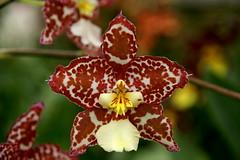 Wilsonara Susi (rolf_leon) Tags: orchideen orchids ochidées odontoglossum oncidium wilsonara