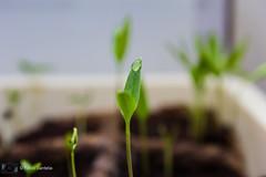 Chili Setzling (fadenfloh) Tags: chili samen seeds grün green bio anbau ngc