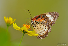 Butterfly in Vietnam - Leopard Lacewing (Jamie Lenh Photography) Tags: nature wildlife buttery vietnam leopardlacewing nikon d7100 tamron 150600