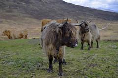 HIGHLAND COWS, ISLE OF SKYE (DESPITE STRAIGHT LINES) Tags: heilancoo highlandcow highlandcows kyloe cow cattle heilancoosinscotland highlandcattleinscotland horns day cloud landscape nikon d800 nikond800 nikon2470mm nikkor2470mm paulwilliams despitestraightlines flickr getty gettyimages highlands scottishhighlands boghaidhealach brindled fur grass field pasture farm farming hoof hooves dof photo photography frame raw image animal sconser luib lochainort isleofskye lochsligachan lochcairidh gettyimagesesp despitestraightlinesatgettyimages paulwilliamsatgettyimages