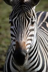 Zebra 1 (airspex) Tags: zebra africa animal animalplanet